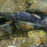 Pink Salmon Mashel Cr 2