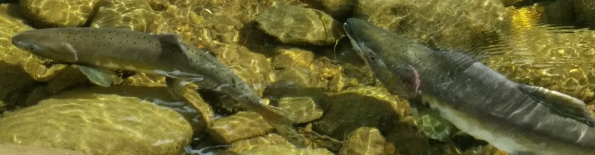 Pink salmon mashel cr 3 copy for Nisqually river fishing
